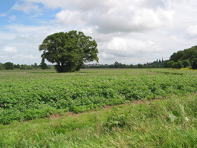 Healthy crop of potatoes