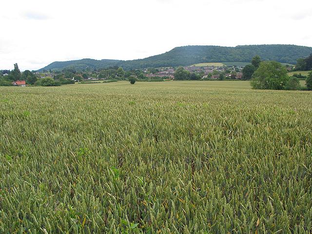 Wheat field near Archenfield