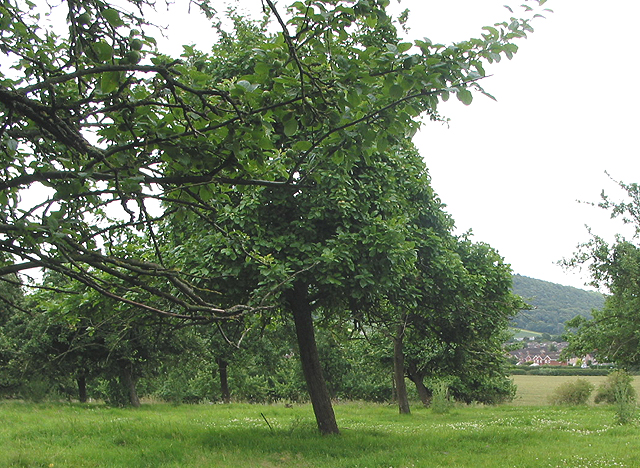 Small orchard near Archenfield