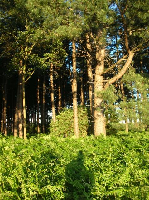Broomhill plantation