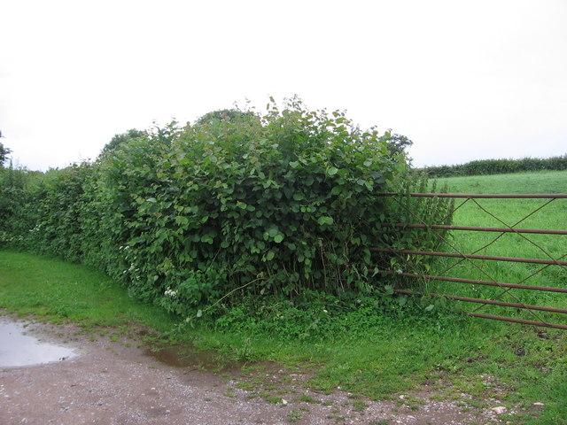 Farm gate and beginning of footpath to Hunstrete Plantation