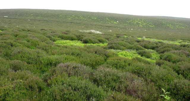 Heather moor with patches of whimberries and fern
