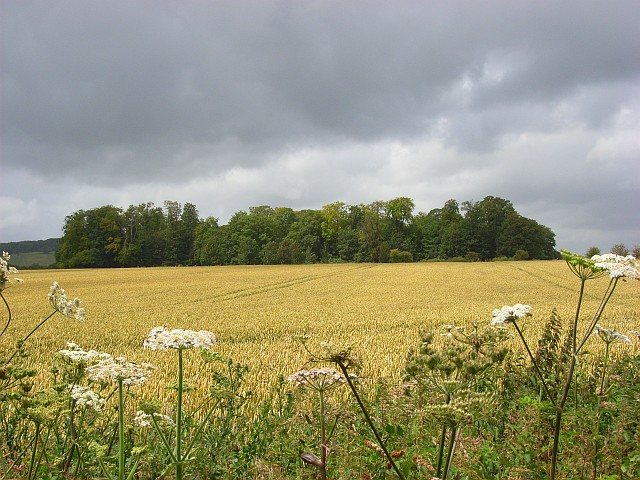 Copse and wheat, Nether Wallop