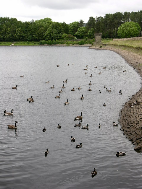 Canada Geese, Turton and Entwistle Reservoir