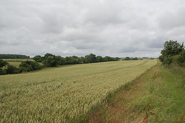 Ripening corn near Sheds farm