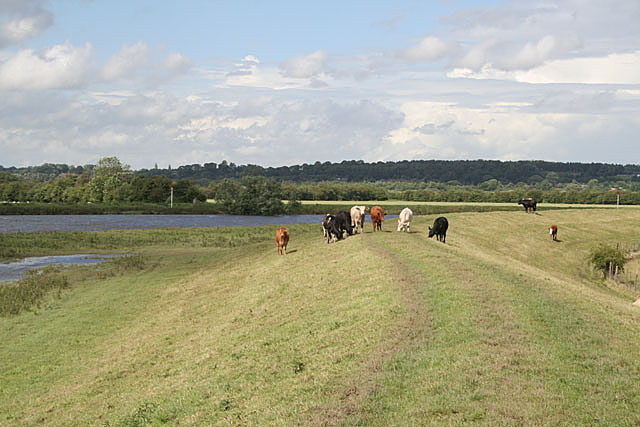 Flood bank along the River Trent with grazing cattle