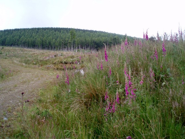 Foxgloves by forestry road