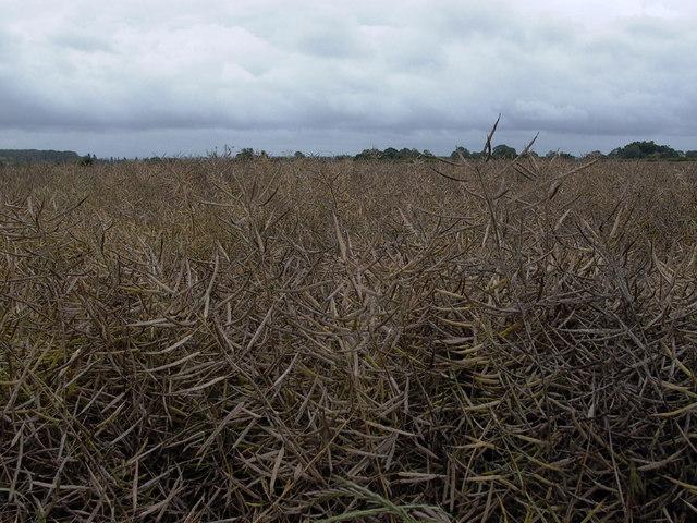 Oilseed Rape (Canola)