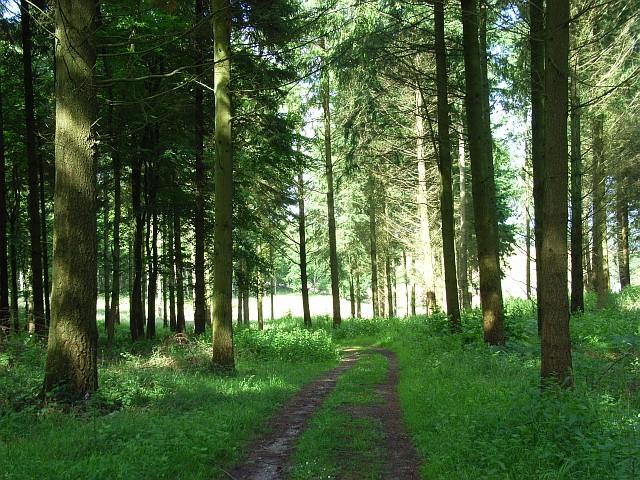 Coniferous woodland, Clarendon Park