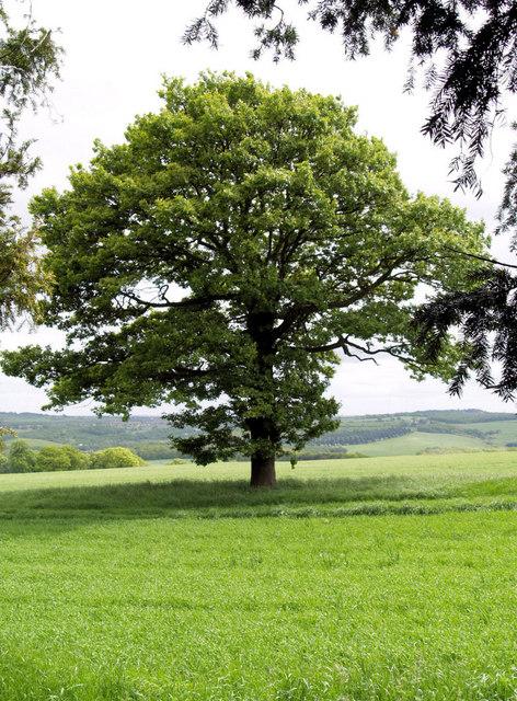 Oak tree outside ha ha.