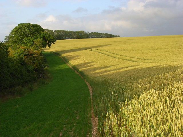 Wheat field above Cockey Down
