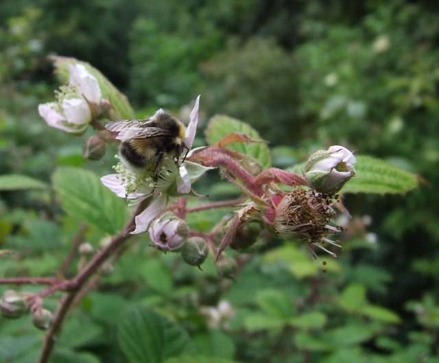 Bee on Bramble flower, Barry Mill