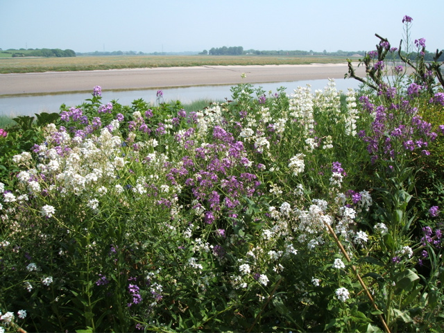 Phlox on the bank of the Wyre