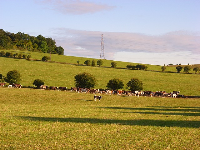 Cattle below Beacon Hill
