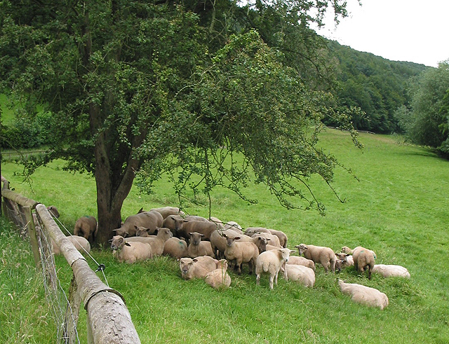 Sheep shelter beneath a hawthorn tree