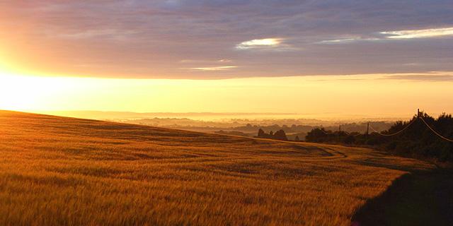 Barley above Thruxton