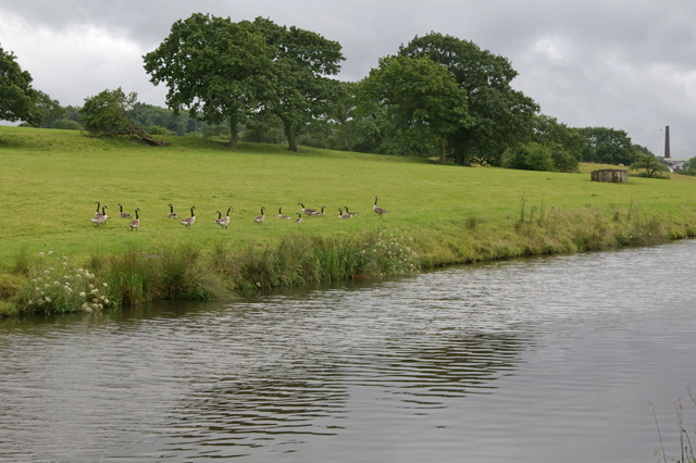 Geese foraging by the Leeds Liverpool Canal