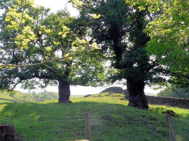 Old oaks