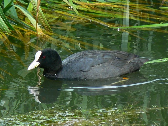 Coot in the Thames and Severn canal, near South Cerney