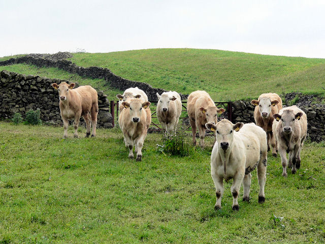 Young cattle on good grazing