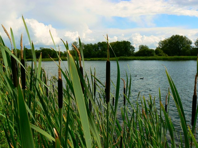 Bulrushes, coots and water, near South Cerney