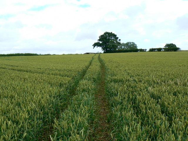 Footpath through wheat, near Chelwood