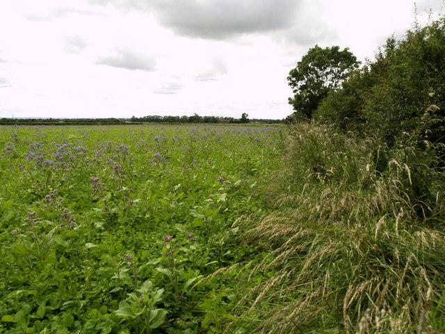 Field-side Hedgerow