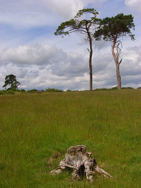 Pines on Hadden Hill