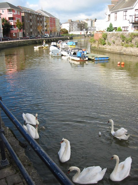 Swans at Scotch Quay, Waterford