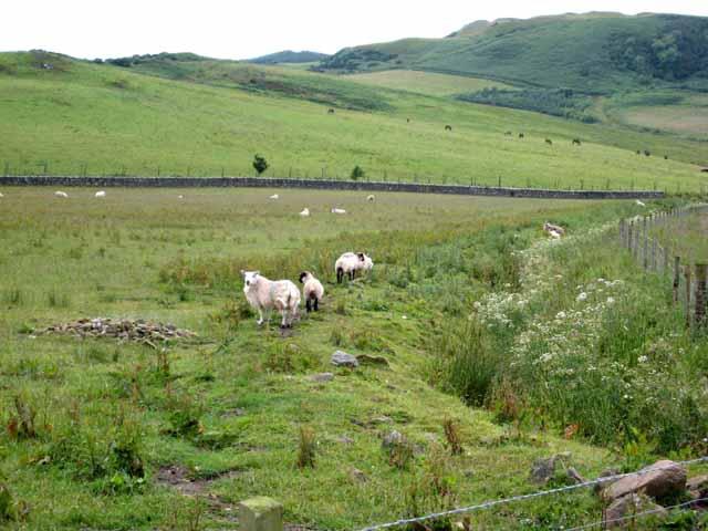 Sheep near Homeston Farm