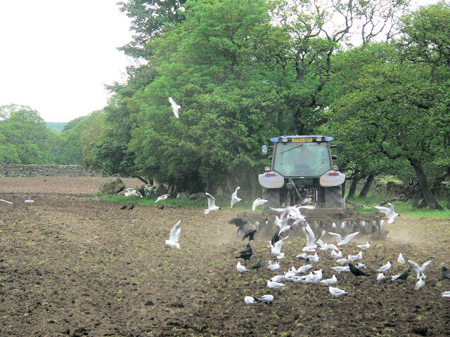 Seagulls behind the cultivations