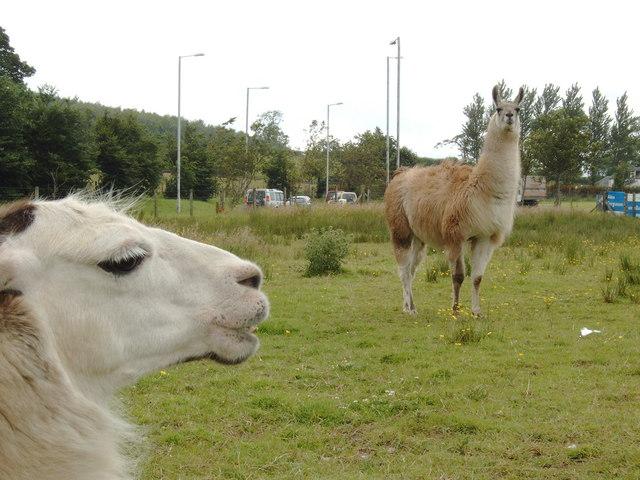 Llamas ! (or alpacas?)