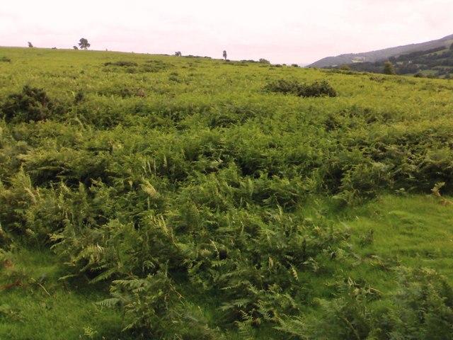 Ferns on Coed-y-Prior Field.