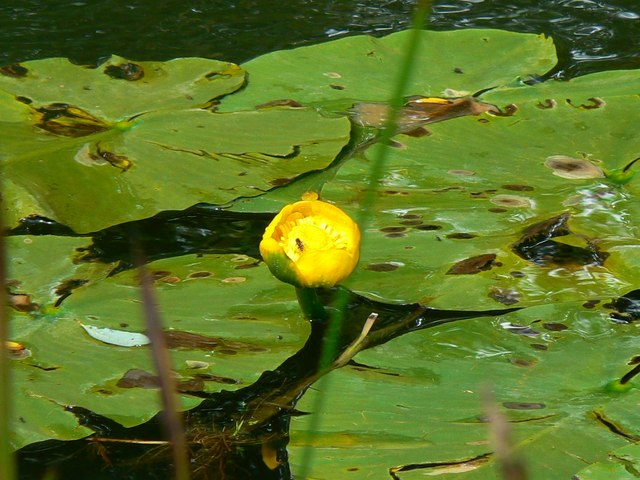 Water lily in the Thames and Severn canal, near South Cerney