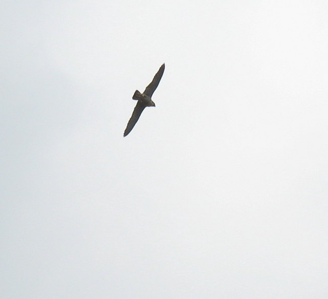 A very noisy circling peregrine above the quarry