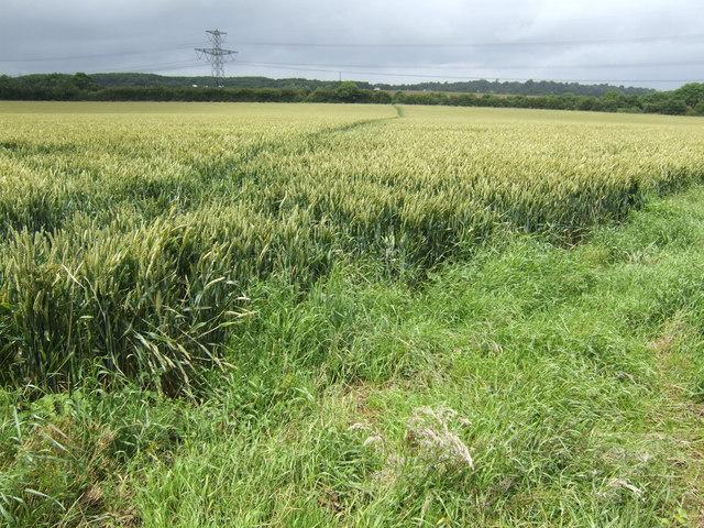Footpath through the wheat