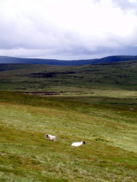 Sheep on the Northern slopes of Mayar