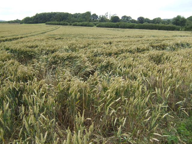 Wheatfield south of Whaddon
