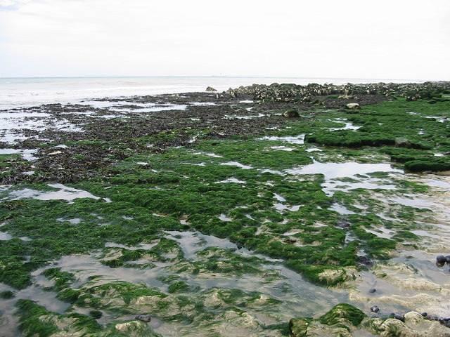 Seaweed covered chalk bedrock near Kingsdown