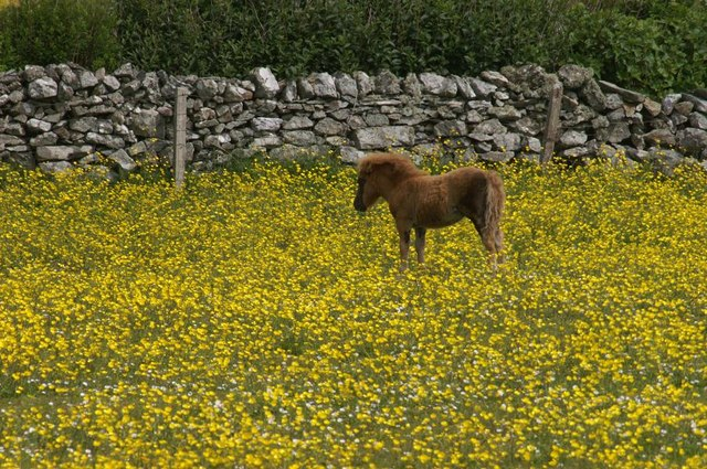 Pony in a sea of yellow
