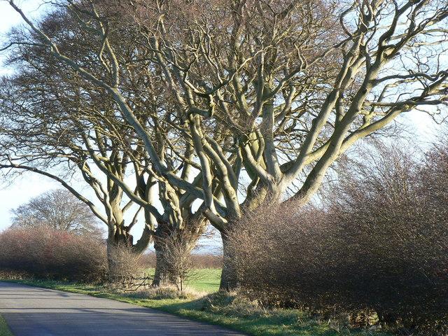 Trees Near Caistor High Street