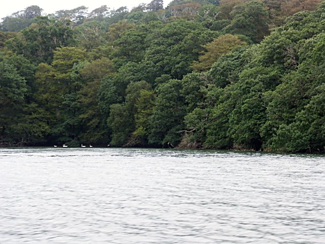 Swans at the head of the creek off the River Fal
