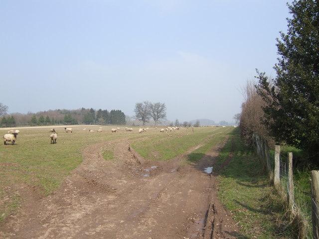 Sheep by Cross End Farm