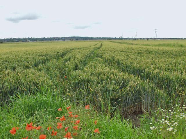 Wheat fields near Neap House
