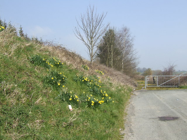 Embankment with daffodils