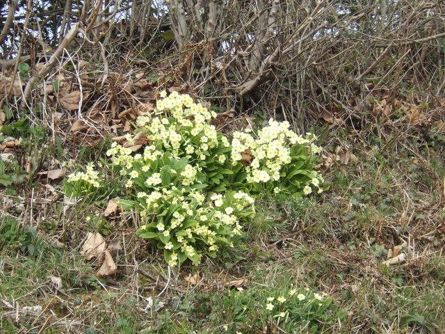 Wild primroses