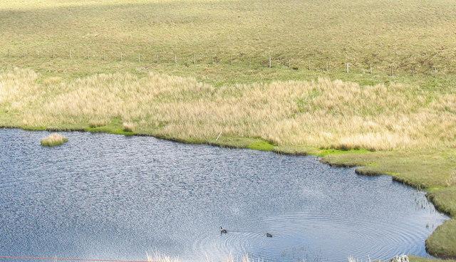 Branta canadensis on Llyn Cors-y-barcud