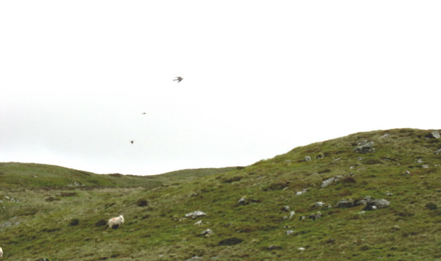 A startled sheep watches the cuckoo make his getaway