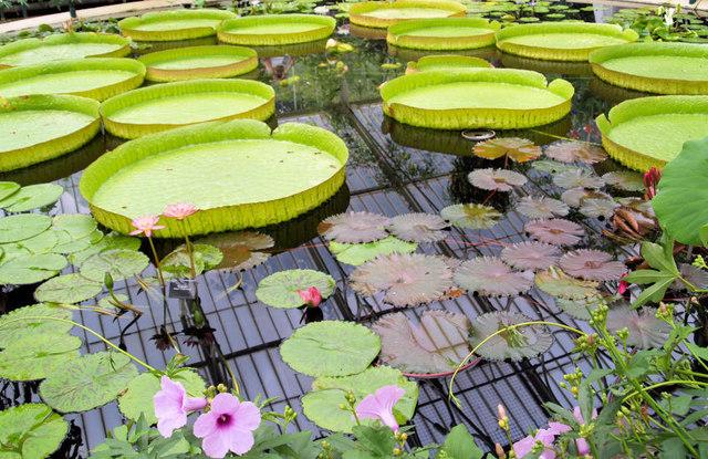 Giant water lily pads Royal Botanic Gardens, Kew.