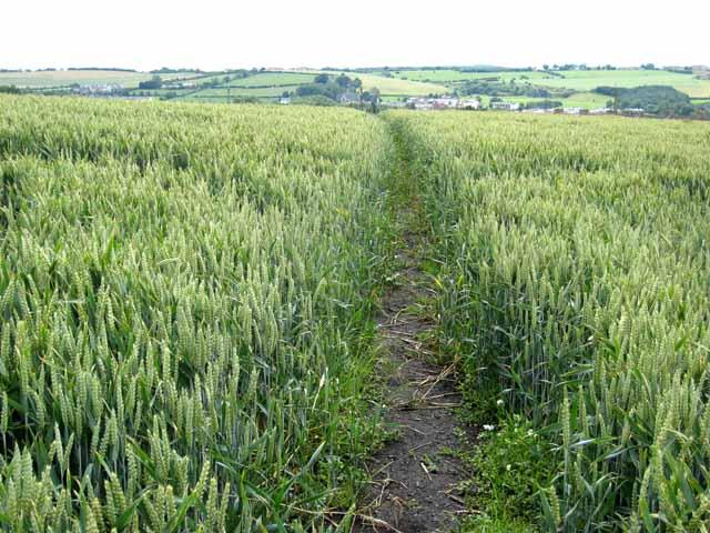 Cut path through field of wheat